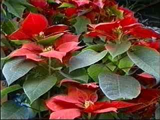 Noche Buena Flowers
