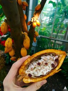 Cacao Fruit & Seeds